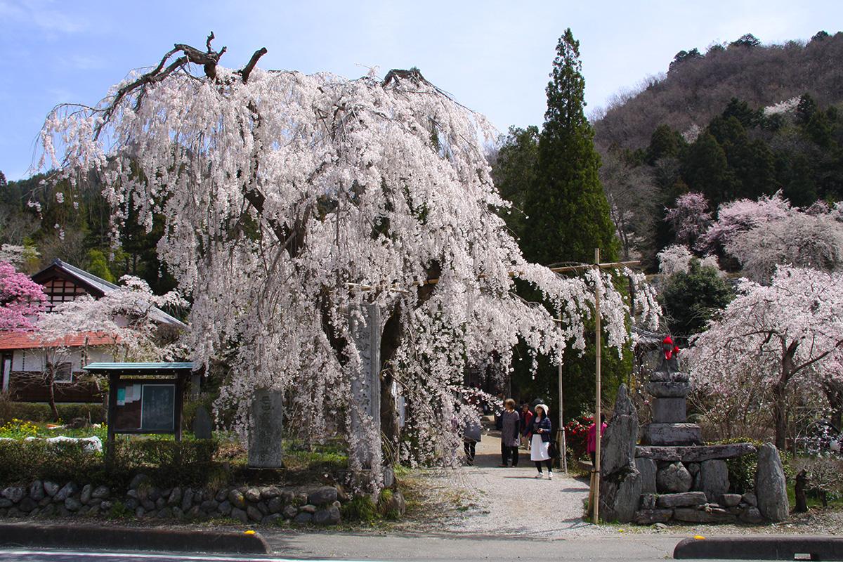 法善寺しだれ桜