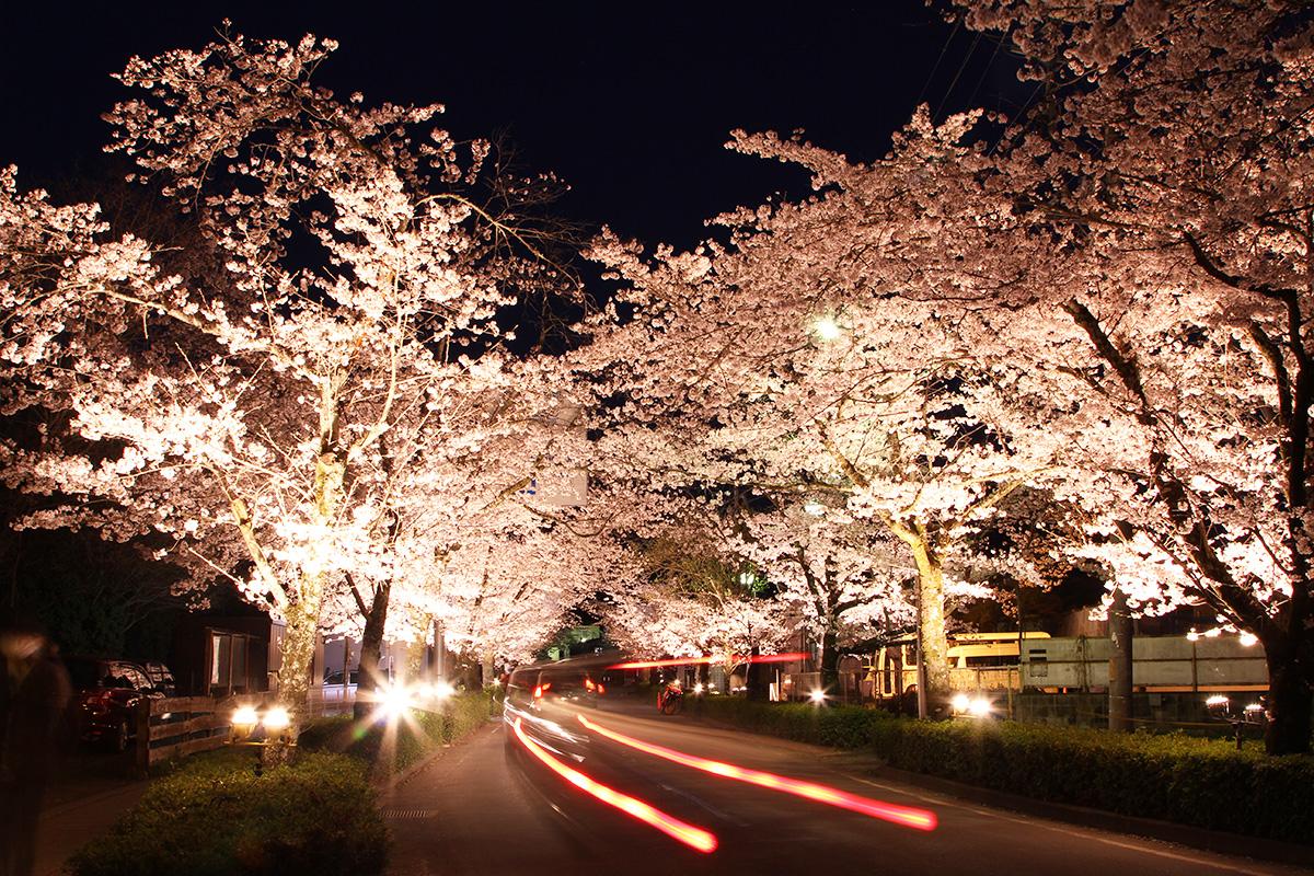 北桜通り(桜のトンネル)