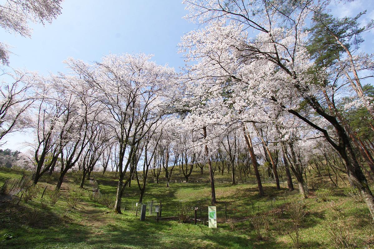 野土山(桜の里)