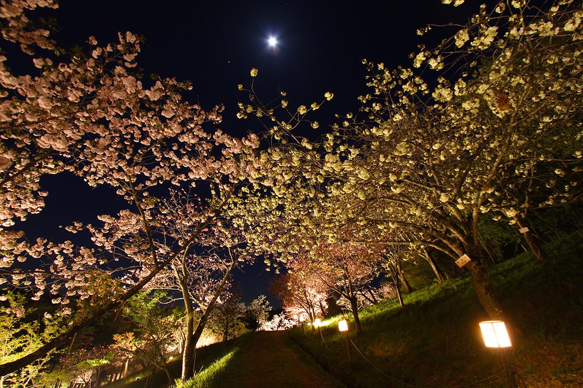 通り抜けの桜(ライトアップ)