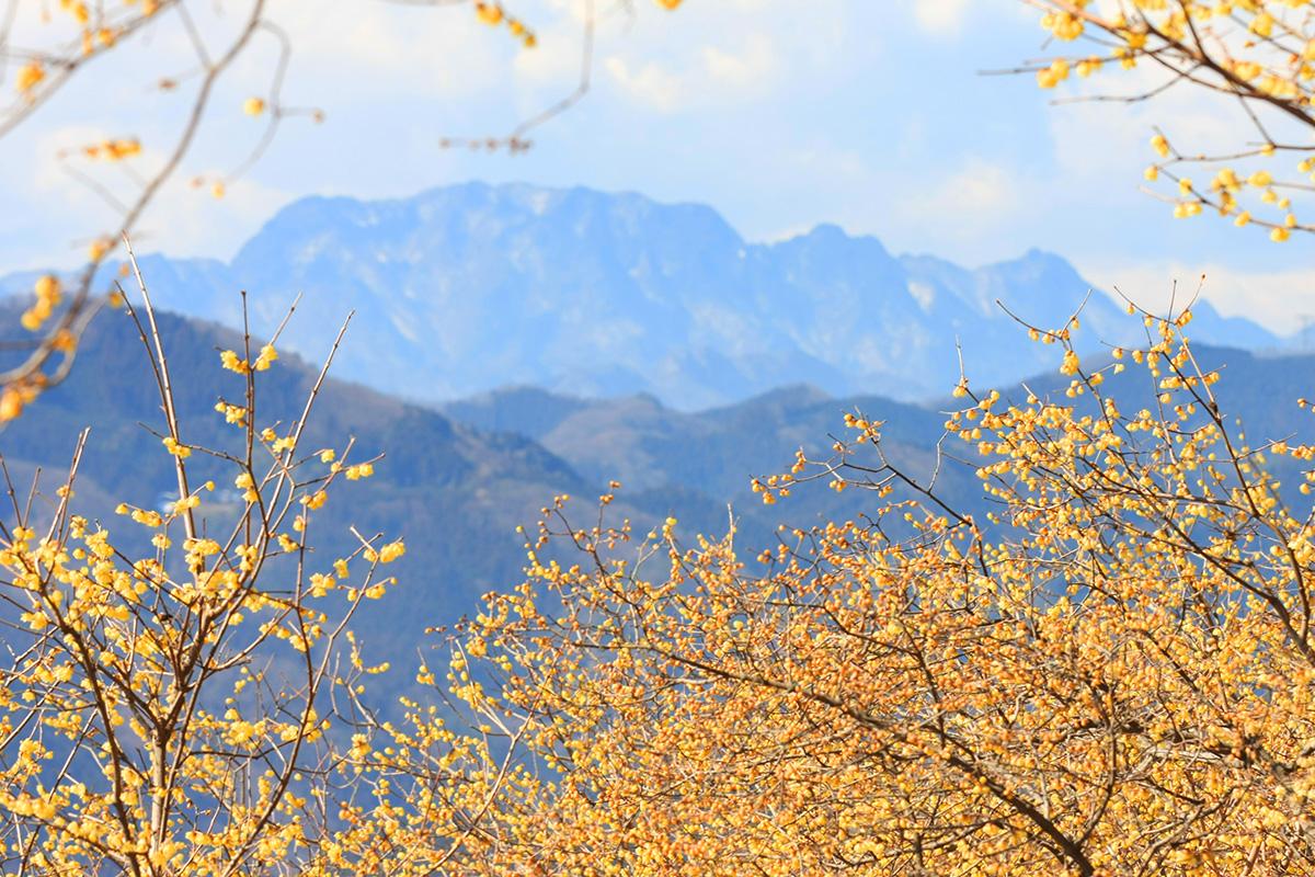宝登山ロウバイ園(宝登山山頂)