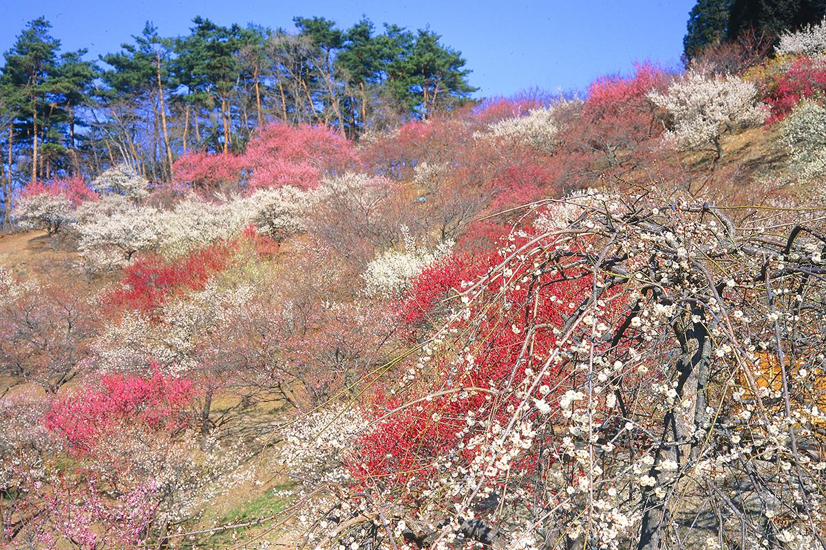 宝登山梅百花園(宝登山山頂)