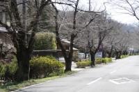 北桜通り 未開花
