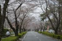 ③北桜通り 2分咲き