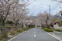北桜通り 3分咲き