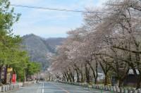 宝登山参道 2分咲き
