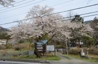 大手の桜 満開