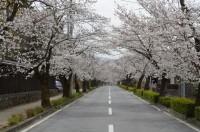北桜通り 6~7分咲き