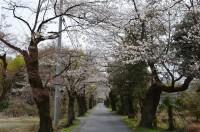 南桜通り 6~7分咲き