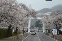 ⑤宝登山参道 5~6分咲き