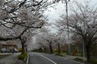 ③北桜通り 6~7分咲き