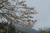①大手の桜