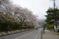 ⑤宝登山参道 7分咲き