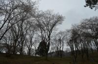 ⑥野土山 3分咲き