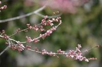 大手の桜エドヒガンザクラ 咲き始め