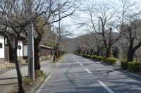 ③北桜通り・南桜通り(ソメイヨシノ)未開花