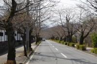 ③北桜通り 開花(1分咲き)
