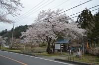 ①大手の桜 満開