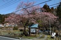 大手の桜 4分咲き