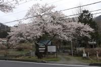 大手の桜③