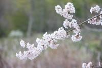 大手の桜②