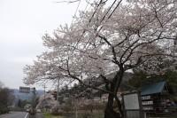 大手の桜①