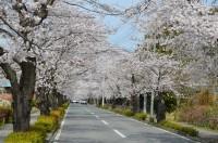 ③北桜通り 満開
