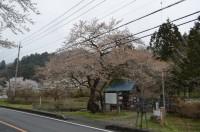 ①大手の桜 散り始め