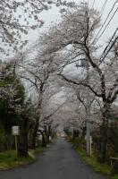 ④南桜通り 満開