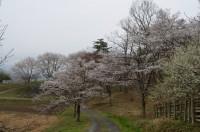 ⑥野土山 5分咲き