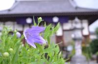 多宝寺のキキョウ→4~5分咲き