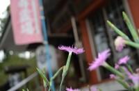 不動寺のナデシコ→満開