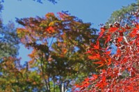 月の石もみじ公園→今週末より見頃(ライトアップは2013年11月16日~12月1日)