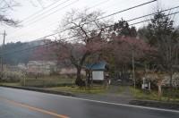 大手の桜→開花