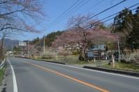 大手の桜→咲き始め