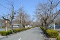 北桜通り→未開花