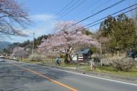 大手の桜→4~5分咲き