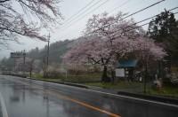 大手の桜(エドヒガンザクラ)→5~6分咲き
