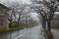 北桜通り(ソメイヨシノ)→未開花