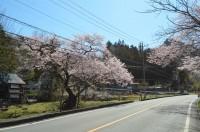 ①大手の桜→見頃