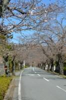 ③北桜通り→本日開花