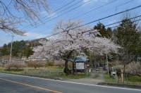 ①大手の桜→満開