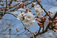 ③北桜通り→1~2分咲き