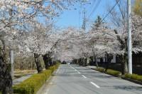 ③北桜通り→7分咲き