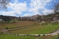 ⑥野土山→2~3分咲き