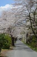 ④南桜通り→7分咲き