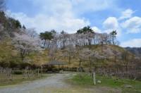 ⑥野土山→3~4分咲き