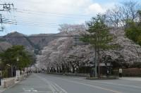 ⑤宝登山参道→5~6分咲き