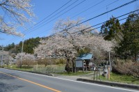 ①大手の桜→散り始め