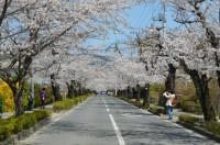 ③北桜通り→満開